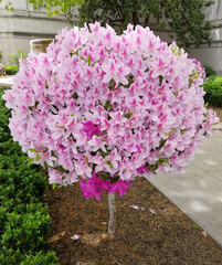Globular lily flower tree in bloom