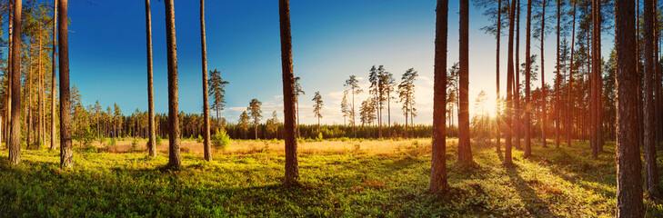 Wall Mural - Coniferous forest with pine trees at sunset. Panoramic view in the woods