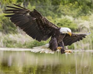 Poster Eagle Bald Eagle Juvenile