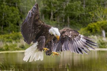 Bald Eagle Juvenile Fotoväggar