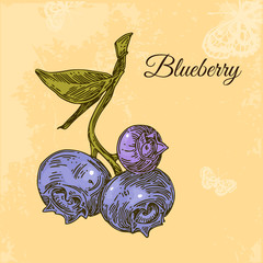 Vintage card. Three blueberry with stems and leaf. Engraving style. Vector illustration.