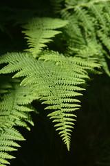 Beautiful Green Fern Plant In a Garden