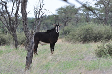 Sable antelope in the african bush. Namibia