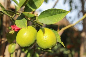Ripening lemons in California winter