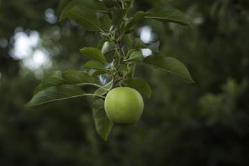 Single apple on branch of apple tree, Parkdale, Oregon, USA