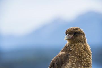 Headshot of chimango caracara (Phalcoboenus chimango) bird, Bariloche, Patagonia, Argentina