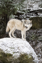 Wolf (Canis lupis) in the snow, Alaska, USA
