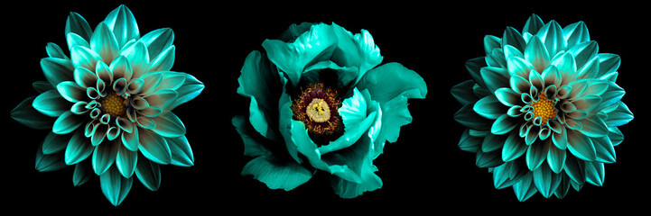 Fotobehang Macrofotografie 3 surreal exotic high quality turquoise flowers macro isolated on black. Greeting card objects for anniversary, wedding, mothers and womens day design