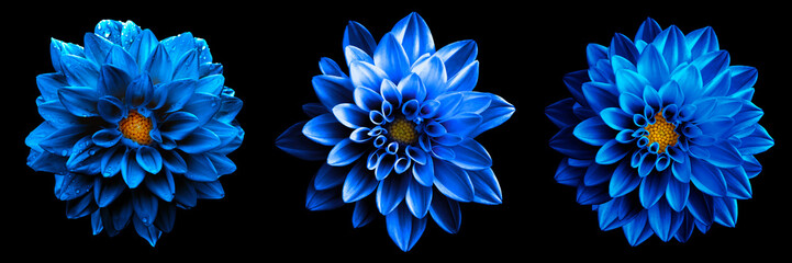 Cadres-photo bureau Dahlia 3 surreal exotic high quality blue flowers macro isolated on black. Greeting card objects for anniversary, wedding, mothers and womens day design