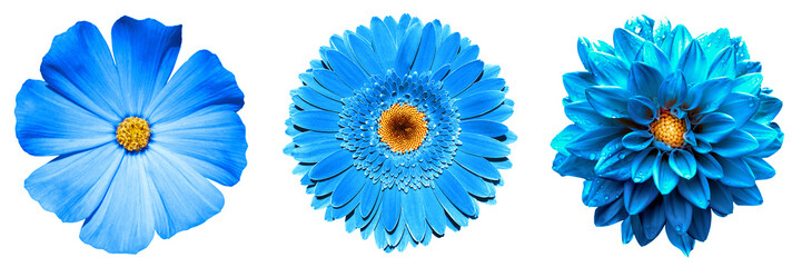 Poster Gerbera 3 surreal exotic high quality blue flowers macro isolated on white. Greeting card objects for anniversary, wedding, mothers and womens day design