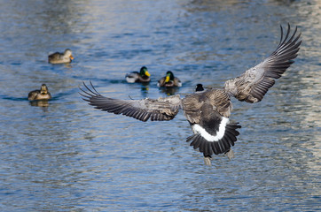 Canada Goose Landing on the Water