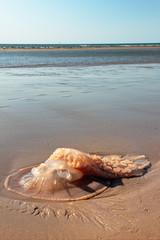 Une grosse méduse