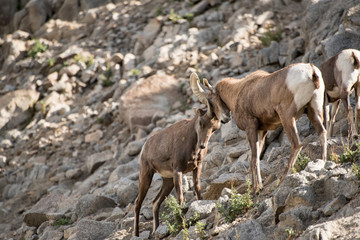 Big horn sheep ramming horns
