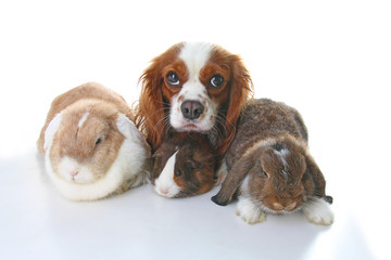 Animals together. Real pet friends. Rabbit dog guinea pig animal friendship. Pets loves each other. Cute lovely cavalier king charles spaniel puppy cavy lop photo. Isolated white background. Love