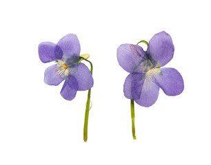 Pressed and dried forest violets. Isolated on white