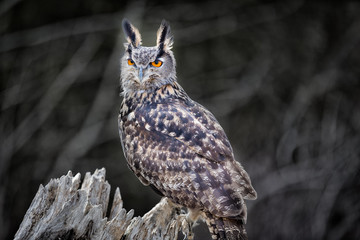 Fototapete - Euro Asian Eagle Owl