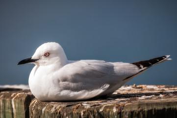 A Seagull in Queenstown, NZ