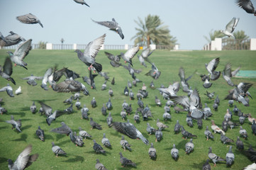 Flock of Pigeons in park in Doha, Qatar