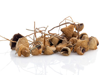 Medical dried magic mushrooms.
