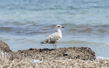 Juvenile of Yellow-legged Gull, Larus michahellis, in a beach of Santa Pola, Alicante, Spain, by the Mediterranean Sea