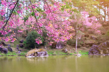 Landscape of pink Cherry blossom flower or Sakura flower with lake at Khun Wang Royal Project in Chiang Mai, Thailand.Wild Himalayan Cherry (Sakura Thailand), Chiang Mai, Thailand