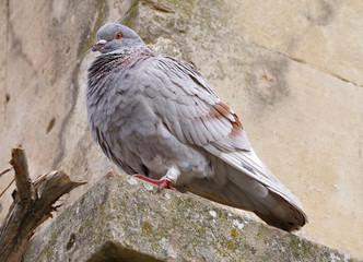 portrait of beautiful pigeon