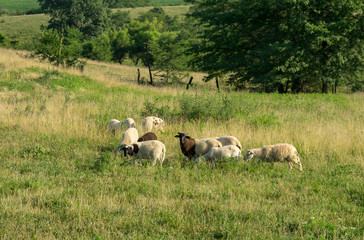 Wall Mural - Sheep Grazing in the Pasture