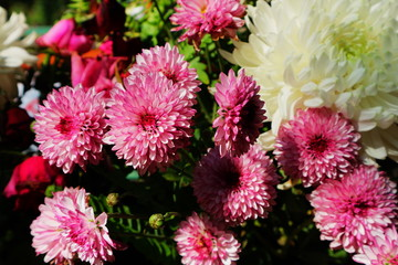 Beautiful lilac pink and white chrysanthemum as background picture. Chrysanthemum wallpaper, chrysanthemums in autumn.