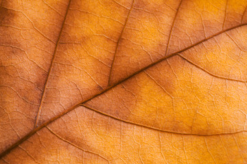 Texture of Autumn Leaf background