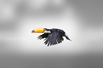 Toucan, a tropical bird