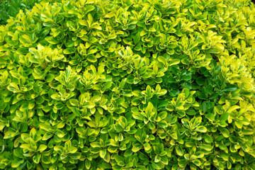 Cerca immagini da oraziopuccio for Siepe sempreverde