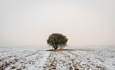 Quercus ilex. Encina, campo agrícola nevado y niebla en invierno.