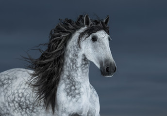 Fototapete - Gray long-maned Andalusian Horse in motion on dark cloud sky.