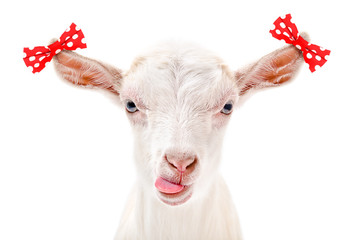 Portrait of a funny goat, showing the tongue, with bows on the ears, isolated on a white background