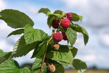 Growing raspberries in garden.