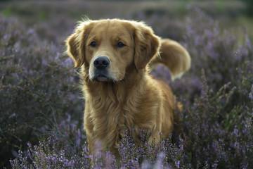 Golden Retriever standing in purple heather.