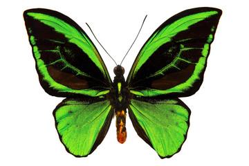 Большая бабочка с чёрно-зелёными крыльями и рисунком глаз на них, и длинными усиками. Изолирована на белом фоне