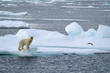 Polar bear standing on floating ice