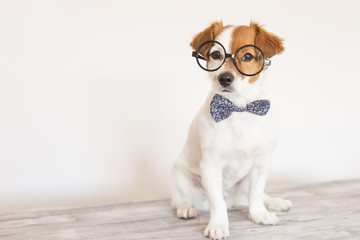 cute young small white dog wearing a modern bowtie and glasses. Sitting on the wood floor and looking at the camera.White background. Pets indoors
