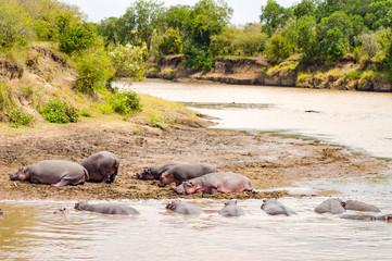Herds of hippopotamuses in the Mara River of Masai Mara Park in North West Kenya