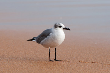 A laughing gull standing on a sandy beach.