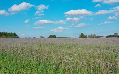 Lila Feld in Schleswig-Holstein - Landwirtschaft in Norddeutschland