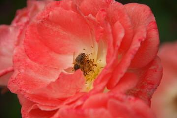 Biene mit Pollen-Höschen in einer Rose - Bestäubung, Honig machen