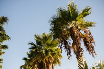 Palms on the background of a blue sky