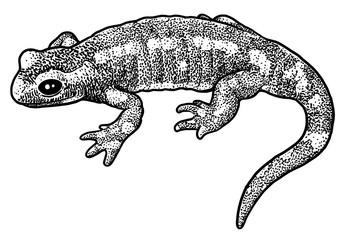 Fire salamander illustration, drawing, engraving, ink, line art, vector