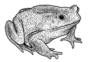 Cane toad illustration, drawing, engraving, ink, line art, vector