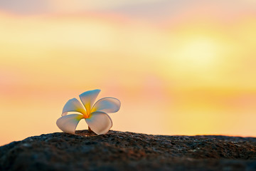 Plumeria flower on the rock of the beach at sunset,relaxing concept.