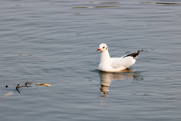 White gull floats on the watery surface of the river