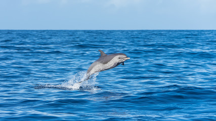 Fotorollo Delphin Pan tropical spotted dolphin, dolphin jumping in blue sea