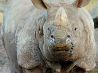 Potężne, wrogie spojrzenie nosorożca